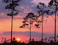 Everglades National Park, FL <br /> Slash pine (Pinus elliottii) on the open saw grass prairie silhouetted by setting sun