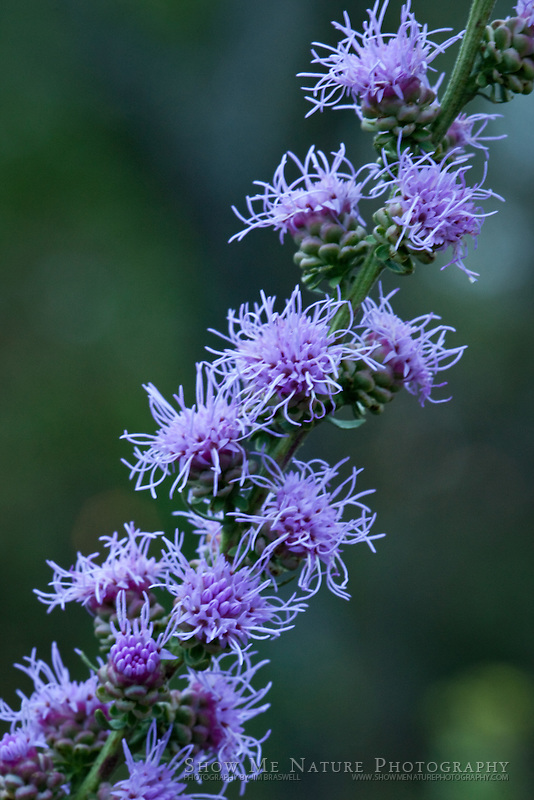 Rough Blazing Star, Missouri