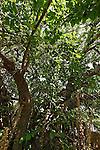Israel, Jerusalem. Mulberry tree (Morus Alba) in Ein Karem