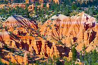 Fairyland Canyon, at sunset, hoodoos and douglas fir, Pseudotsuga menziesii, Bryce Canyon National Park, Utah, USA