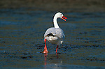 Coscoroba Swan walking through shallow  part of lagoon, Torres del Paine National Park,Chile.