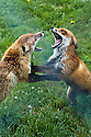 Fighting red foxes (Vulpes vulpes), late May.