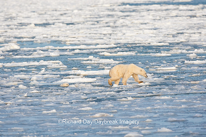 01874-12201 Polar Bear (Ursus maritimus) mother and cub jumping on ice in Hudson Bay  in Churchill Wildlife Management Area, Churchill, MB Canada