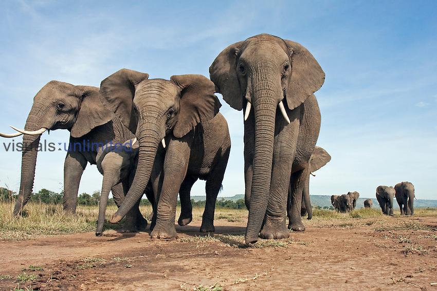 African Elephant herd walking (Loxodonta africana), Masai Mara, Kenya.