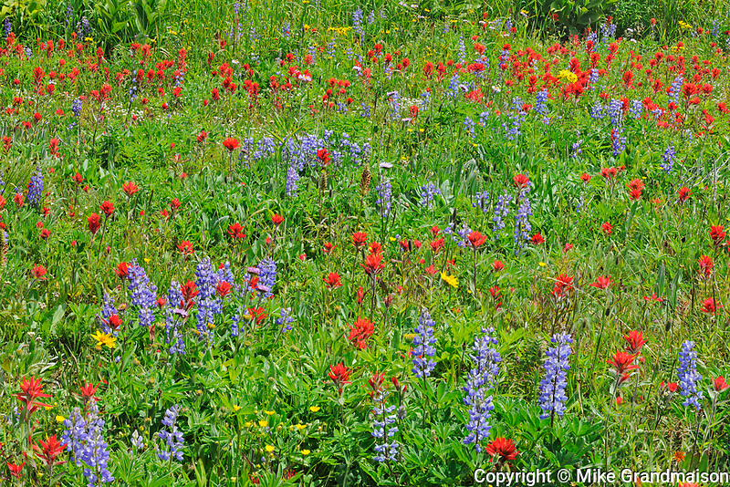 Wildflowers in the alpine zone at the summit of Sun Peaks (Lupines, paintbrush, composite), Near Kamloops, British Columbia, Canada