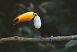Toco Toucan ( Ramphastos toco ) Iquacu Falls National Park, Brazil