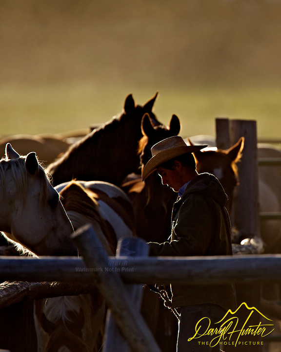 Wyoming Cowboy saddling horses for the days work