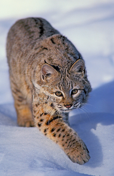 Bobcat. Winter. Rocky Mountains. (Felis rufus).