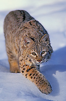 Bobcat. Winter. Rocky Mountains. (Felis rufus).