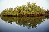 The Gambia. Riverside mangrove.