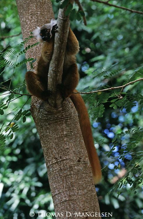 Black Lemur (female) sitting in tree.