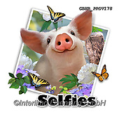 Howard, SELFIES, paintings+++++Piglets selfie,GBHRPROV178,#Selfies#, EVERYDAY