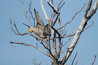 Peregrine Falcon (Falco peregrinus anatum), North American subspecies, adult female taking flight from a snag at Palisades Interstate Park, State Line Lookout, Alpine, New Jersey.