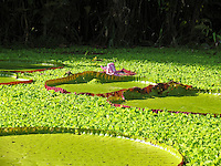 Giant Amazon Water Lilys, Rio Maranon, Amazon, Reserva Pacaya Samiria, Peru
