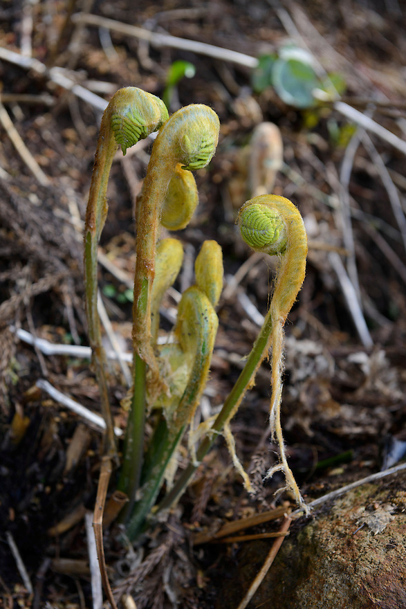 Zenmai, a type of edible fern, growing on a mountainside in Tsuruoka, Yamagata Prefecture, Japan, April 9, 2016. The city of Tsuruoka in Yamagata Prefecture is famous for its sansai mountain vegetable cuisine. These foraged grasses, fungi and vegetables are also used by the mountain ascetics of the Shugendo religion.