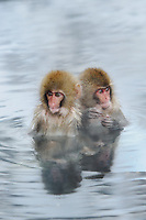Snow monkeys or Japanese macaque, at Jigokudani Yaenkoen Park, Japan.