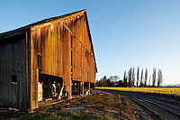 Barn and blooming daffodils on a Skagit Valley farm, Skagit County, Washington, USA