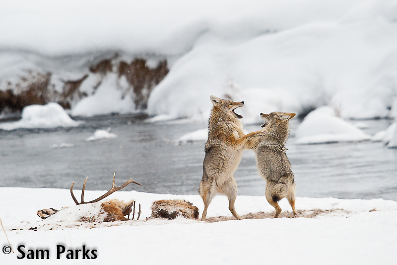 Coyote pair playing at a carcass. Yellowstone National Park, Wyoming.