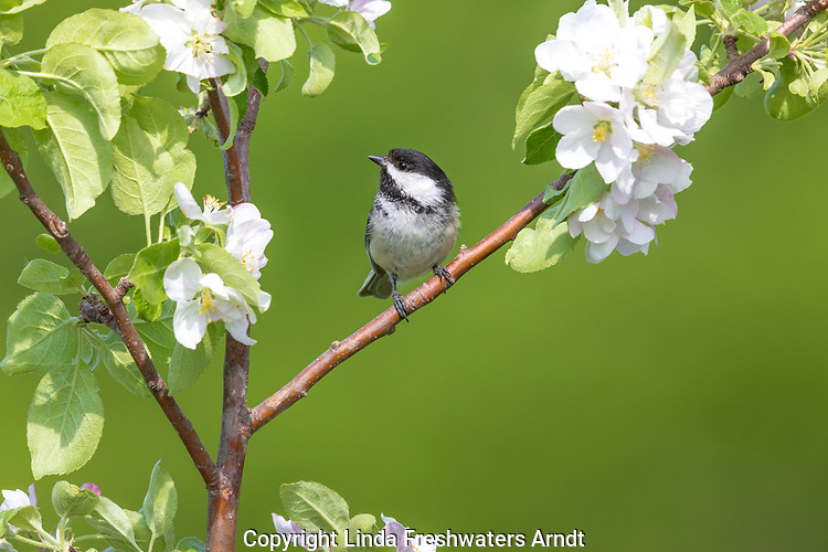 Black-capped chickadee perched in a flowering apple tree in northern Wisconsin.