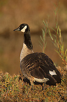 537216065 a wild canadian goose branta canadensis stands in moist grasses at bosque del apache national wildlife refuge in new mexico united states
