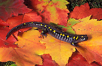 Yellow-spotted Salamander on maple leaf..Nova Scotia, Canada..Ambystoma maculatum.