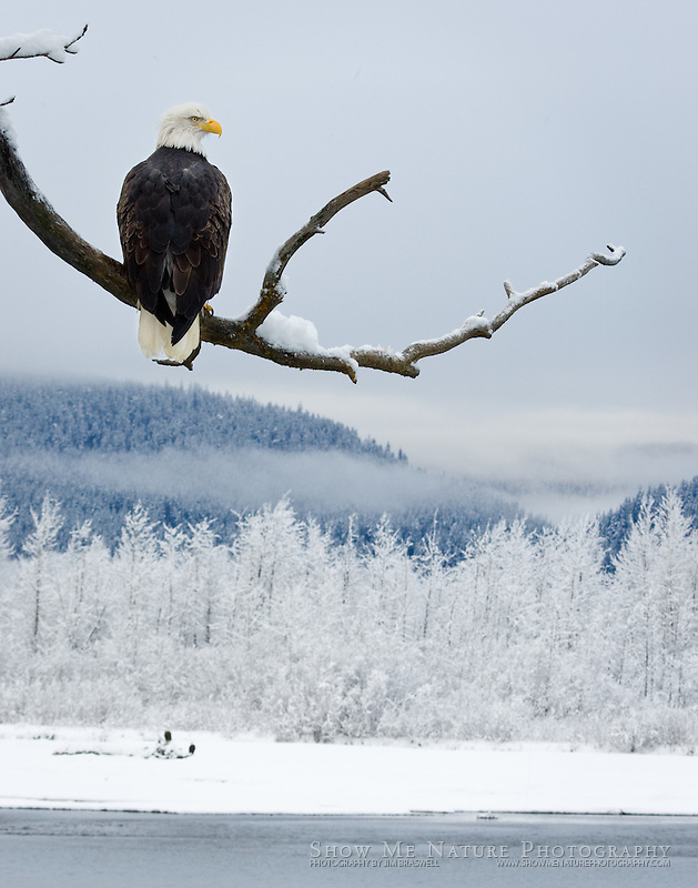 """Bald Eagle Looking Over Chilkat River Valley"", Alaska"