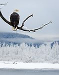 """Bald Eagle Looking Over Chilkat River Valley"", Alaska"