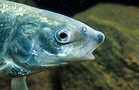 Nordsee-Schnäpel, Nordseeschnäpel, Schnäpel, Rheinschnäpel, Coregonus oxyrinchus, syn. Coregonus lavaretus oxyrhynchus, Coregonus oxyrhynchus, houting, Renken, Maränen, whitefishes, lake whitefishes, coregonines