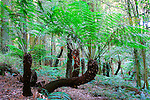 Tree Ferns, Mount Wilson, Blue Mountains, NSW