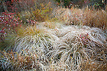 Frost onTussock Sedge,  Carex stricta, Delaware State Forest, Pennsylvania