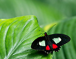 A Cattleheart calmly sitting on a green leaf with wings fully spread  showing off his beautiful markings, his probiscus curled and fuzzy body apparent.