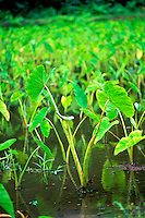 Taro plants growing on a farm in Waipio Valley on the Big Island