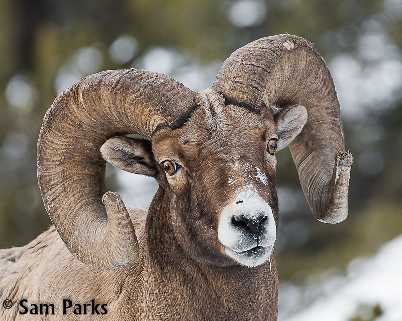 Bighorn sheep ram in winter. Yellowstone National Park, Wyoming.