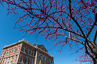 Redbud blossom with Montgomery Hall.<br />  (photo by Megan Bean / &copy; Mississippi State University)