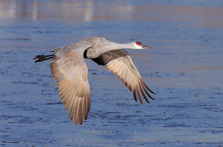 Sandhill Crane Morning Flight Portrait Bosque del Apache Wildlife Refuge New Mexico