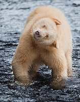 "Kermode ""Spirit"" Bear shaking off some water"