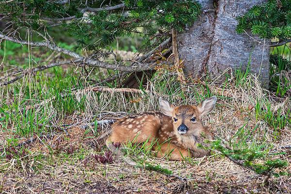 Columbian black-tailed deer (Odocoileus hemionus columbianus) fawn resting/hiding.. Pacific Northwest.  Summer.