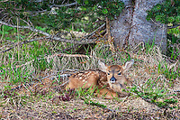 Columbian black-tailed deer (Odocoileus hemionus columbianus) fawn resting/hiding.. Pacific Northwest.  Summer.