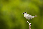 Whiskered Tern (Chlidonias hybrida) in basic plumage, Diyasaru Park, Colombo, Sri Lanka