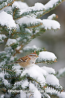 01588-009.02 American Tree Sparrow (Spizella arborea) in Balsam fir tree in winter, Marion Co. IL