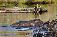 American Beaver (Castor canadensis) working on dam (pushing mud up to seal framework of sticks) it has built on a small stream.  Western U.S., May.