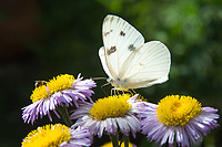 Checkered White Butterfly
