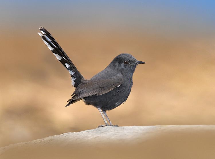 Black Bush-robin - Cercotrichas podobe