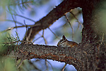 Chipmunk in pine tree near Grand Canyon Village, Grand Canyon National Park, ARIZONA