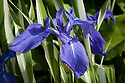 Iris laevigata 'Variegata' (Variegated Japanese iris), late May.