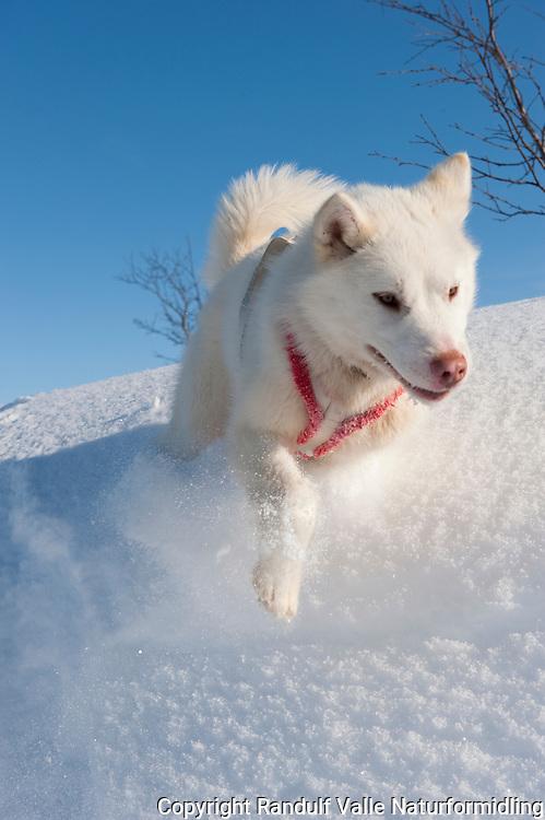 Grønlandshund ---- Greenland dog