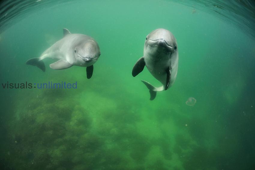 Harbor Porpoises (Phocoena Phocoena) swimming, Fjord & Baelt, Denmark