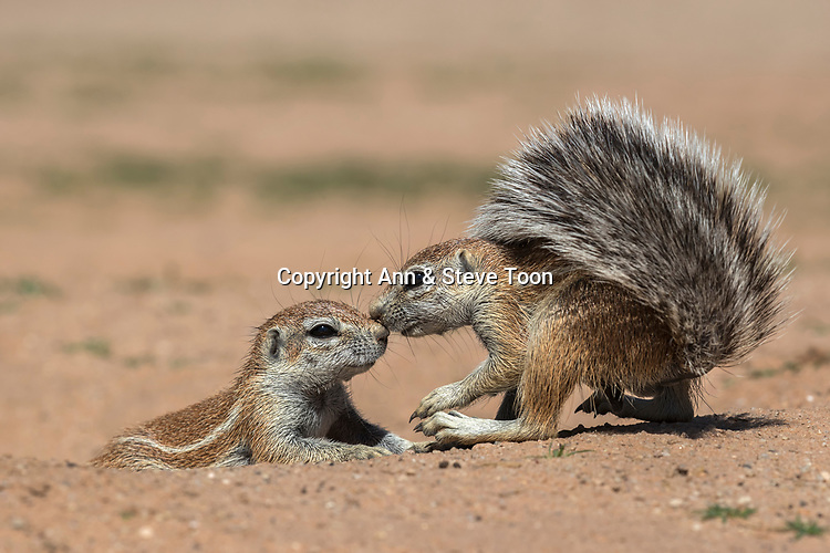 Ground squirrels (Xerus inauris), Kgalagadi Transfrontier Park, Northern Cape, South Africa, January 2017