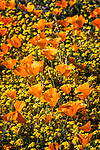 Golden California poppies with yellow daisies