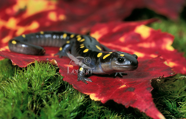 Yellow-spotted Salamander on maple leaf.<br />